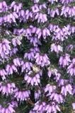 ερείκη λουλουδιών Στοκ φωτογραφία με δικαίωμα ελεύθερης χρήσης