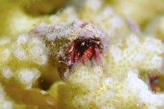 ερημίτης καβουριών Στοκ Φωτογραφία