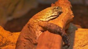 Ερπετό δράκων Komodo απόθεμα βίντεο