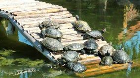 Ερπετό χελωνών στην άγρια φύση ζωής φιλμ μικρού μήκους
