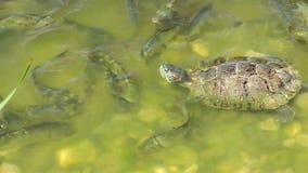 Ερπετό χελωνών στην άγρια φύση ζωής απόθεμα βίντεο