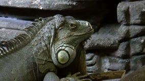 Ερπετό-Iguana απόθεμα βίντεο