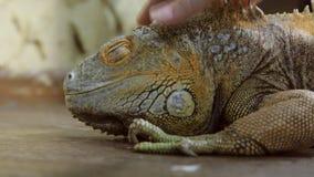 Ερπετό Iguana απόθεμα βίντεο