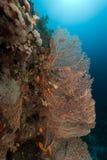 Ερυθρά Θάλασσα ανεμιστήρων anthias Στοκ εικόνες με δικαίωμα ελεύθερης χρήσης