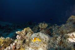 Ερυθρά Θάλασσα φυσαλίδων anemone anemonefish Στοκ εικόνα με δικαίωμα ελεύθερης χρήσης