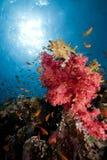 Ερυθρά Θάλασσα ψαριών κο&r στοκ εικόνες
