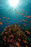 Ερυθρά Θάλασσα ψαριών κο&r Στοκ φωτογραφία με δικαίωμα ελεύθερης χρήσης