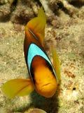 Ερυθρά Θάλασσα Anemonefish Στοκ εικόνες με δικαίωμα ελεύθερης χρήσης