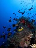 Ερυθρά Θάλασσα Anemonefish Στοκ Εικόνες