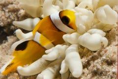 Ερυθρά Θάλασσα Anemonefish (bicinctus amphiprion) Στοκ Εικόνα