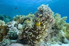 Ερυθρά Θάλασσα bicinctus amphiprion anemonefish Στοκ Εικόνα