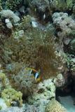 Ερυθρά Θάλασσα bicinctus amphiprion anemonefish Στοκ φωτογραφίες με δικαίωμα ελεύθερης χρήσης