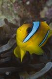 Ερυθρά Θάλασσα bicinctus amphiprion anemonefish Στοκ φωτογραφία με δικαίωμα ελεύθερης χρήσης