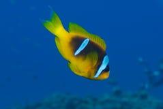 Ερυθρά Θάλασσα bicinctus amphiprion anemonefish Στοκ εικόνα με δικαίωμα ελεύθερης χρήσης