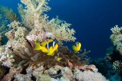 Ερυθρά Θάλασσα bicinctus amphiprion anemonefish Στοκ Φωτογραφία