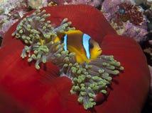 Ερυθρά Θάλασσα anemonefish Στοκ φωτογραφία με δικαίωμα ελεύθερης χρήσης