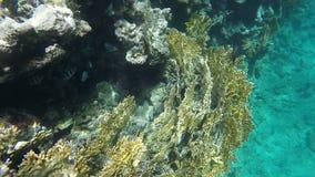 Ερυθρά Θάλασσα ψαριών κο&rh κίνηση αργή απόθεμα βίντεο