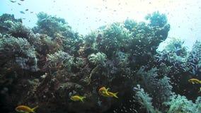 Ερυθρά Θάλασσα ψαριών κο&rh απόθεμα βίντεο
