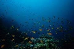 Ερυθρά Θάλασσα ψαριών Anthias Στοκ Φωτογραφία
