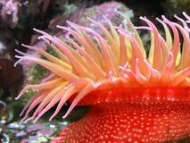 Ερυθρά Θάλασσα anemone Στοκ Φωτογραφία