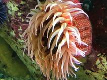 Ερυθρά Θάλασσα anemone Στοκ Εικόνες