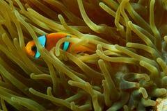 Ερυθρά Θάλασσα anemonefish που κρύβει Στοκ φωτογραφίες με δικαίωμα ελεύθερης χρήσης