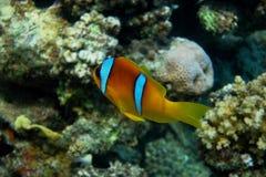 Ερυθρά Θάλασσα anemonefish στην Αίγυπτο Στοκ Εικόνα