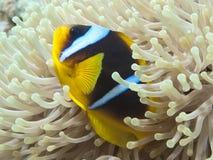Ερυθρά Θάλασσα anemonefish Στοκ φωτογραφίες με δικαίωμα ελεύθερης χρήσης
