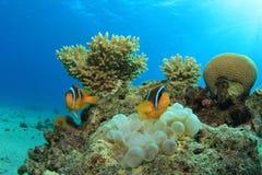 Ερυθρά Θάλασσα Anemonefish Στοκ Εικόνα