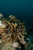 Ερυθρά Θάλασσα Anemonefish (bicinctus amphiprion) Στοκ φωτογραφία με δικαίωμα ελεύθερης χρήσης
