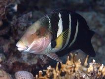 Ερυθρά Θάλασσα thicklip wrasse Στοκ εικόνες με δικαίωμα ελεύθερης χρήσης