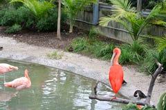 Ερυθρά θρεσκιόρνιθα και Flamingoes Στοκ Εικόνα