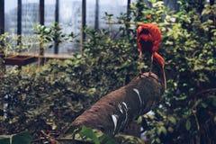 Ερυθρά κόκκινη θρεσκιόρνιθα Στοκ φωτογραφία με δικαίωμα ελεύθερης χρήσης