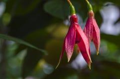 Ερυθρά λουλούδια του φούξια Στοκ Φωτογραφίες