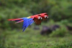 Ερυθρά Macaw - Ara Μακάο Στοκ Εικόνα