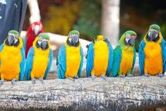 Ερυθρά macaws Στοκ Φωτογραφία