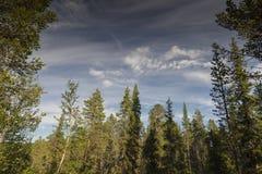 Ερυθρελάτες και δέντρα πεύκων στο σουηδικό Lapland στοκ εικόνα