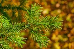 Ερυθρελάτες κωνοφόρων δέντρων κλάδων με την πράσινη κινηματογράφηση σε πρώτο πλάνο βελόνων Στοκ Εικόνες