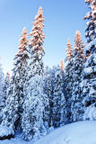 Ερυθρελάτες κάτω από το χιόνι το χειμώνα Lapland Στοκ Φωτογραφίες