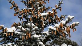 Ερυθρελάτες με τους κώνους στο χιονισμένο δάσος απόθεμα βίντεο