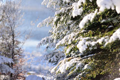 Ερυθρελάτες στο χιόνι Στοκ Εικόνα