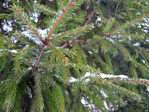 Ερυθρελάτες την παραμονή των Χριστουγέννων Στοκ εικόνες με δικαίωμα ελεύθερης χρήσης