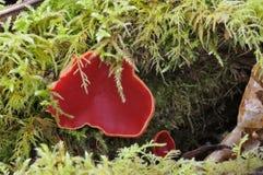 Ερυθροί μύκητες φλυτζανιών νεραιδών Στοκ φωτογραφία με δικαίωμα ελεύθερης χρήσης