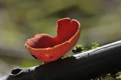 Ερυθροί μύκητες φλυτζανιών νεραιδών Στοκ Φωτογραφία
