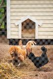 Ερυθρολοφιοφόρες και 2 νάνες κότες νάνων κοκκόρων της Ολλανδίας Στοκ Φωτογραφίες