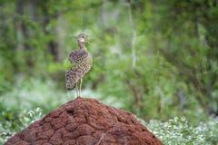 Ερυθρολοφιοφόρο Bustard στο εθνικό πάρκο Kruger, Νότια Αφρική Στοκ Εικόνες