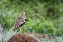 Ερυθρολοφιοφόρο Bustard στο εθνικό πάρκο Kruger, Νότια Αφρική Στοκ εικόνες με δικαίωμα ελεύθερης χρήσης