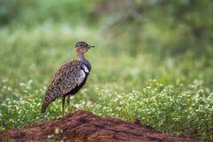 Ερυθρολοφιοφόρο Bustard στο εθνικό πάρκο Kruger, Νότια Αφρική στοκ φωτογραφία με δικαίωμα ελεύθερης χρήσης