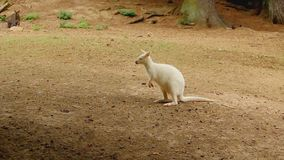 Ερυθρόλαιμο albino Wallaby καγκουρό που κοιτάζουν γύρω και η ίδια γρατσουνιά απόθεμα βίντεο