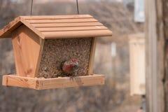 Ερυθρόλαιμο Finch σπιτιών στο New Mexico Στοκ Εικόνες